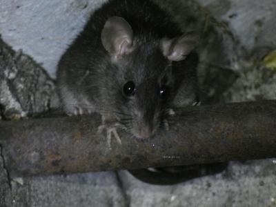 Rata negra - Rattus rattus
