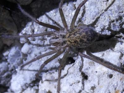 Funileira rústica - Eratigena agrestis