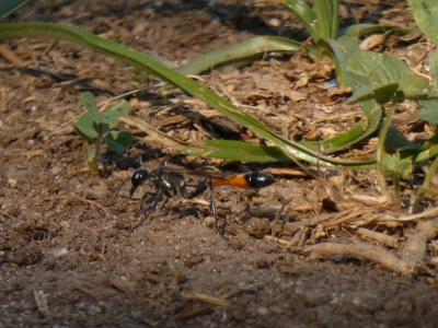 Avespa da area - Ammophila sabulosa