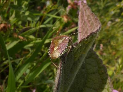 Percebexo das bagas - Dolycoris baccarum
