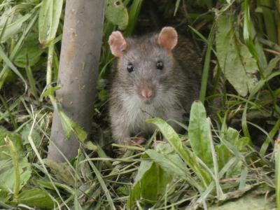 Rata común - Rattus norvegicus