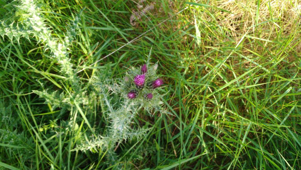 Vista desde arriba de un cardo borriquero comenzando la floración