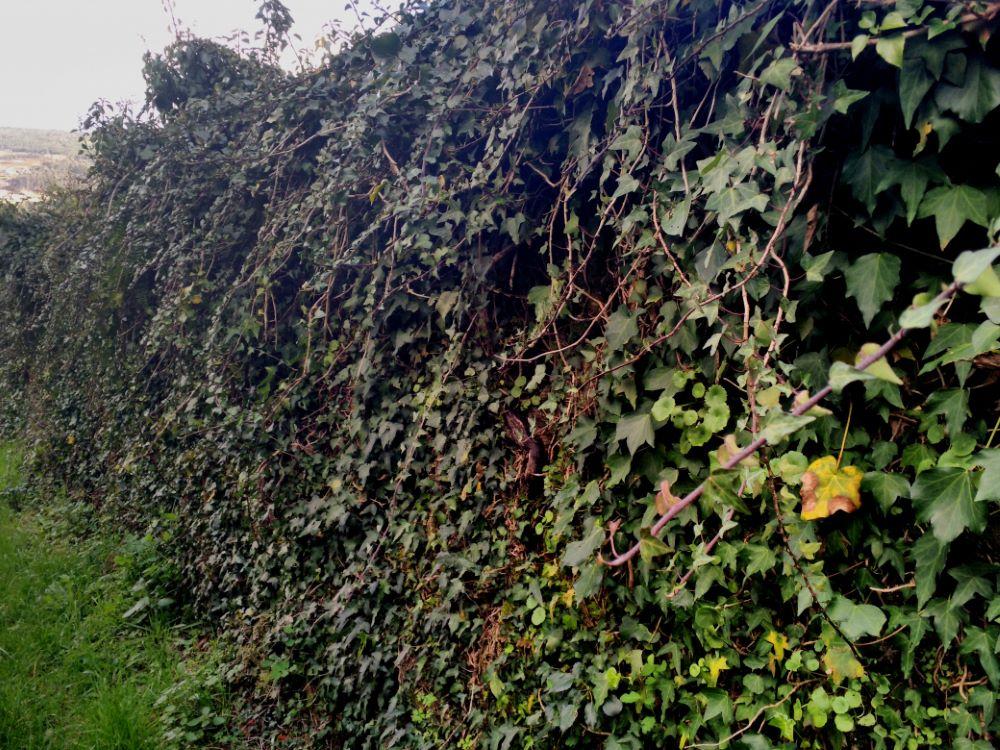 Hiedra extendida en un muro del camino