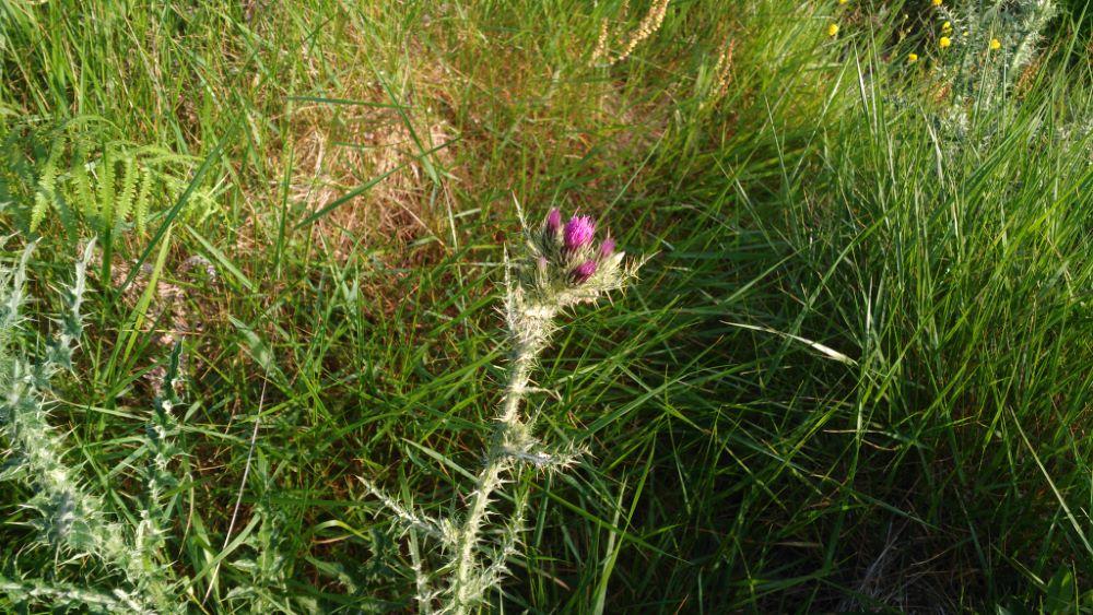 Vista de la planta al inicio de la floración