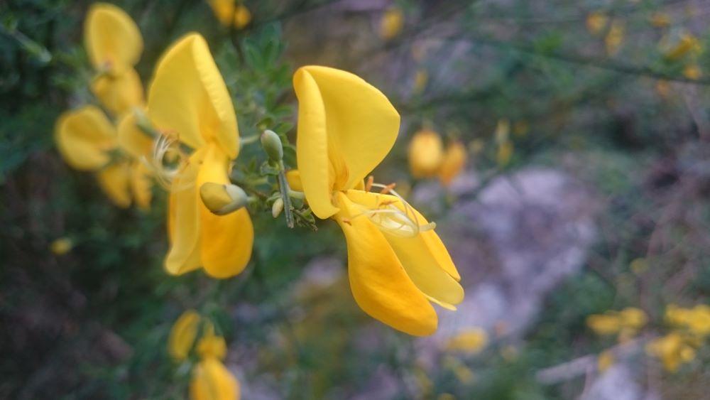 Flor da Xesta