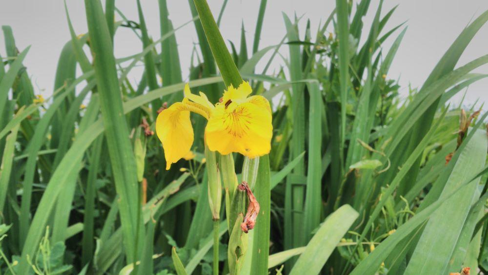 Flor de lirio amarillo cerca del río Lérez