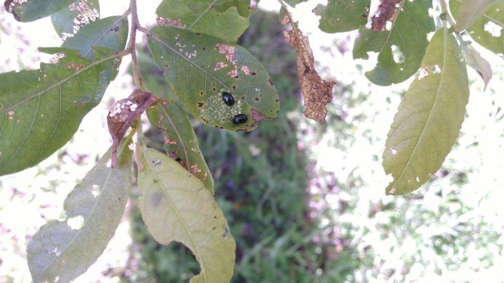 Escaravello do salgueiro (Plagiodera versicolora) comendo as follas