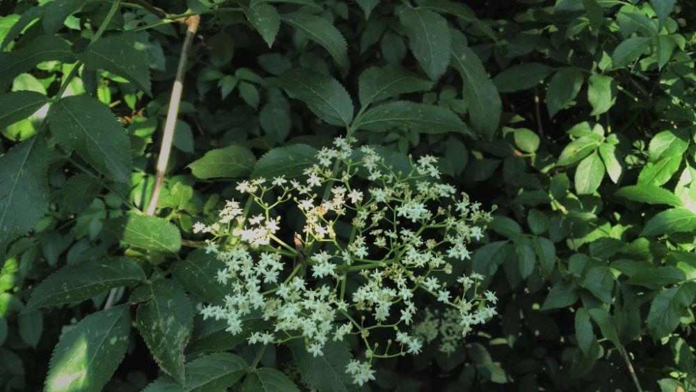 Flor y hojas de saúco