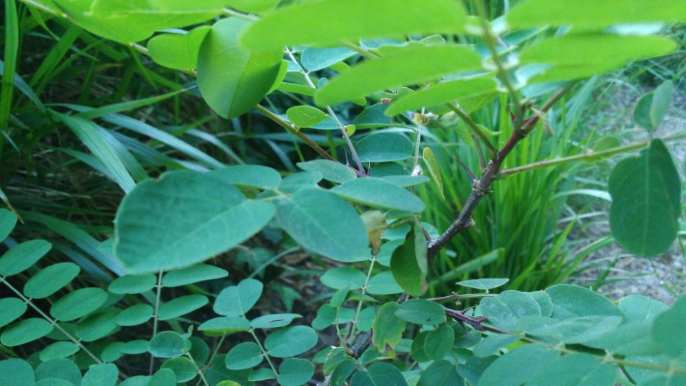 Espiñas da falsa acacia