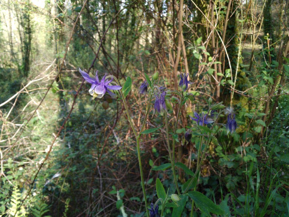 Herba dos pitos en plena floración
