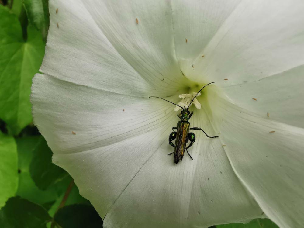 Visitada por un escarabajo metálico