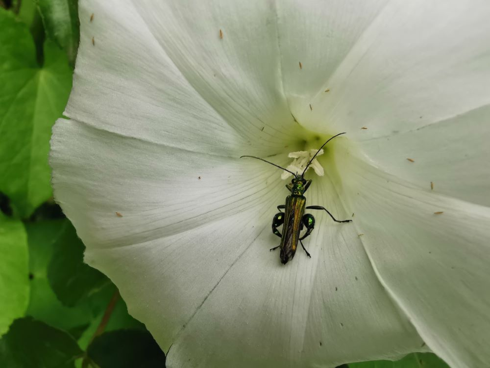 Visitada por un escaravello metalizado