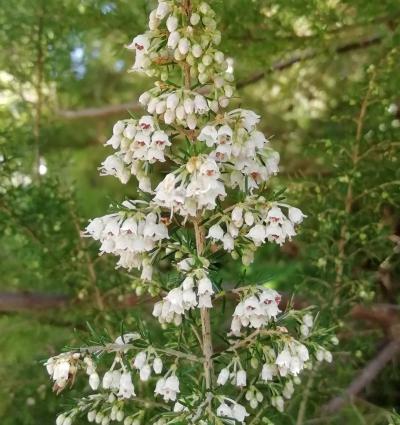 Brezo blanco - Erica arborea L.