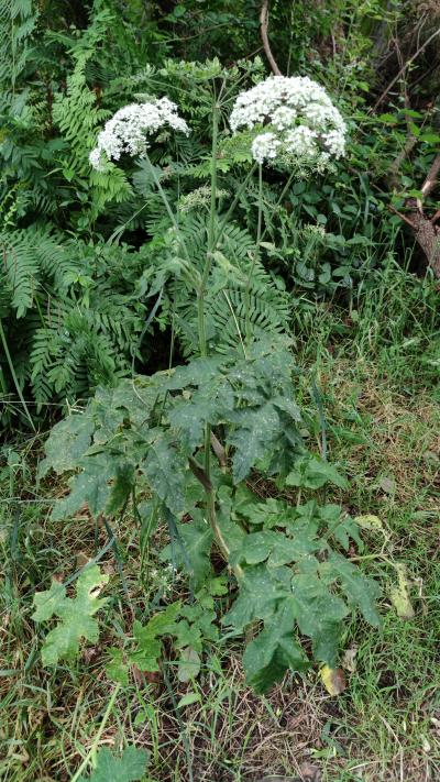 Blanca ursina - Heracleum sphondylium L.