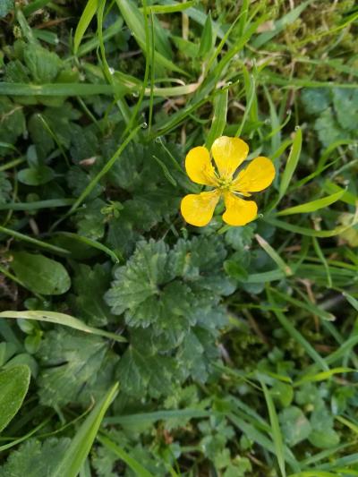 Botón de Oro - Ranunculus repens