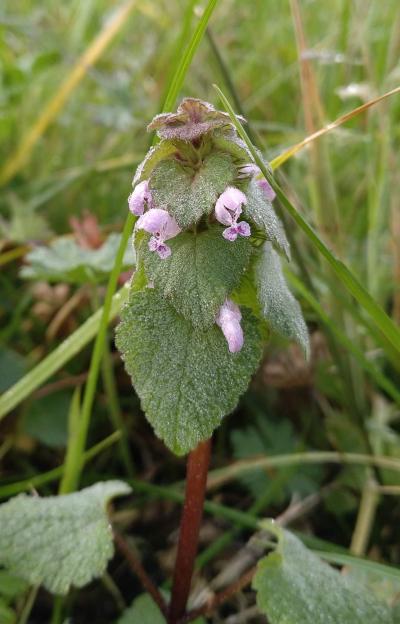 Ortiga muerta roja -  Lamium purpureum L.