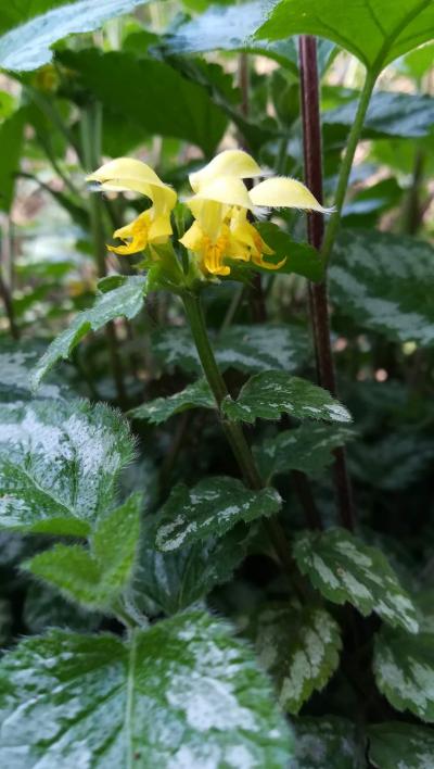 Lamio amarelo - Lamium galeobdolon L.