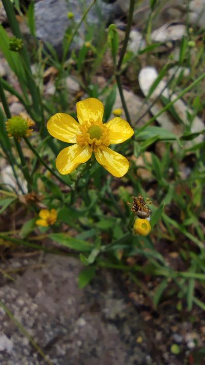 Flámula - Ranunculus flammula L.