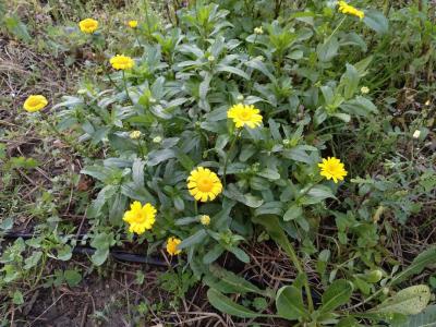 Margarita amarilla - Coleostephus myconis