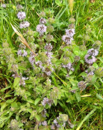 Poleo - Mentha pulegium L.