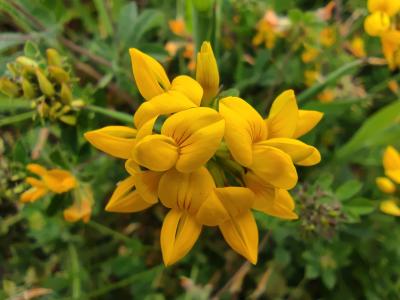 Cuernecillo grande - Lotus pedunculatus Cav.