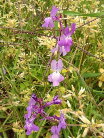 Linaria elegante - Linaria elegans Cav.