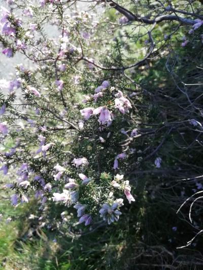 Amor del hortelano - Erica australis L.