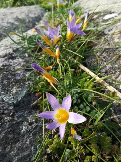 Pataturria - Romulea clusiana (Lange)Nyman