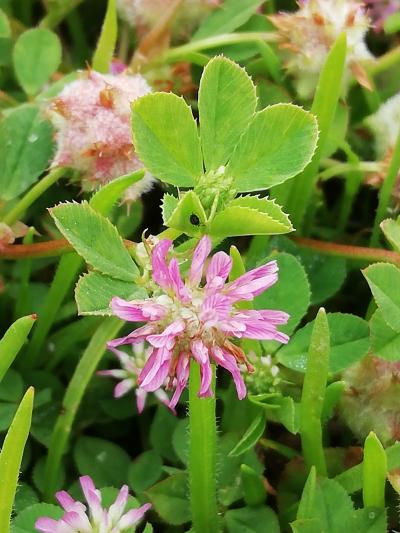 Trevo persa - Trifolium resupinatum L.