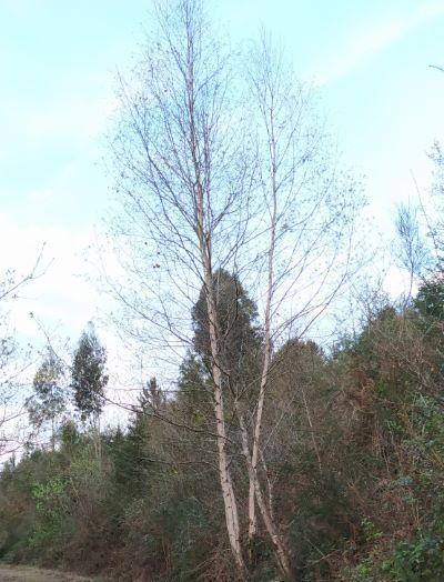 Bidueiro - Betula pubescens