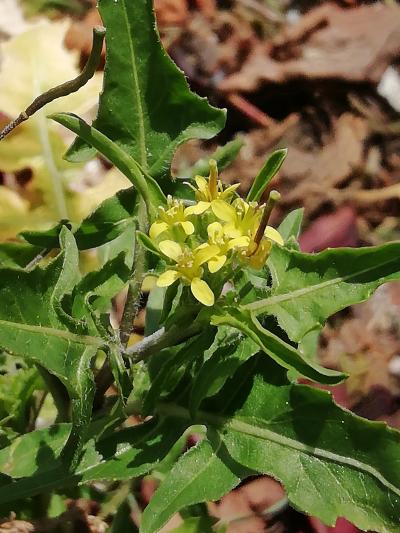 Matacandil - Sisymbrium irio L.
