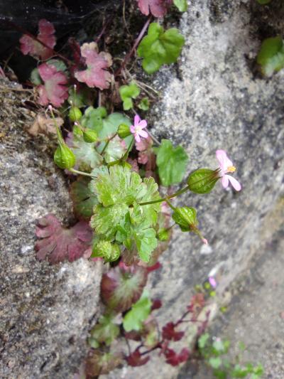 Alfileres - Geranium lucidum L.