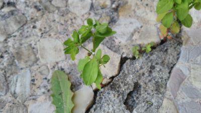 Leiterena - Euphorbia helioscopia