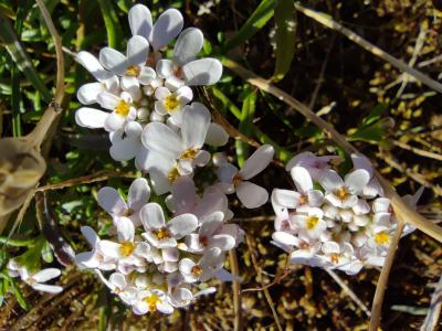 Iberis da praia - Iberis procumbens subsp. procumbens Lange
