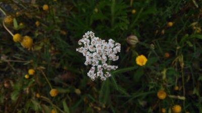 Milenrama - Achillea millefolium