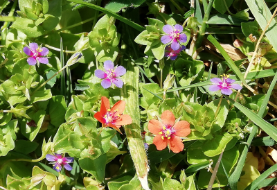Herba do garrotillo -  Lysimachia arvensis (L.) U.Manns & Anderb. (Anagallis arvensis L.)