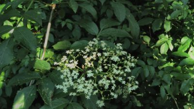 Saúco - Sambucus nigra