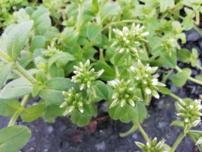 Forquitela ennovelada - Cerastium glomeratum Thuill.