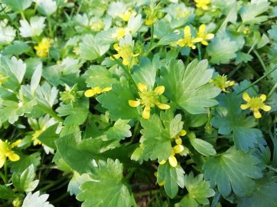Abrojos a cuatro - Ranunculus muricatus L.