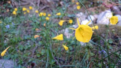 Amarelle - Narcissus bulbocodium