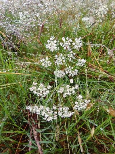 Cominera borde - Carum verticillatum (L.) Koch