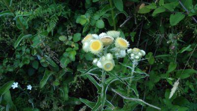 Perpetua hedionda - Helichrysum foetidum