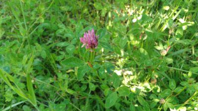 Trevo vermello - Trifolium pratense