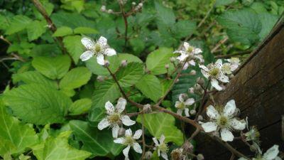 Silva de folla de olmo - Rubus-ulmifolius