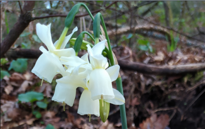 Junquillos blancos - Narcissus triandrus