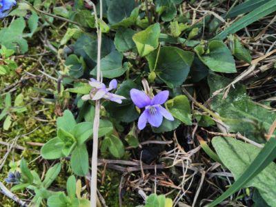 Violeta - Violeta palustris