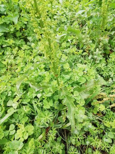 Labaza crespa - Rumex crispus L.