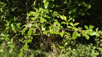 Salgueiro cabuxo - Salix caprea L.