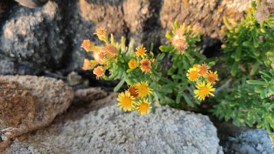 Hierba del cólico - Limbarda crithmoides (L.) Dumort. (Inula crithmoides L.)