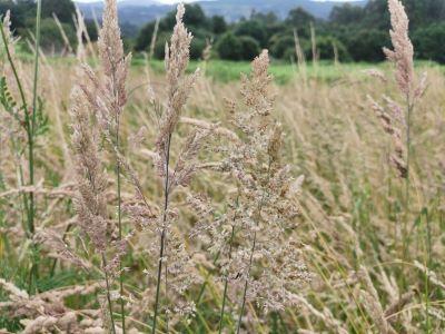 Feno gris - Agrostis stolonifera